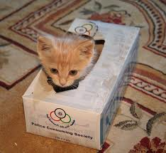 Kitten in tissue box